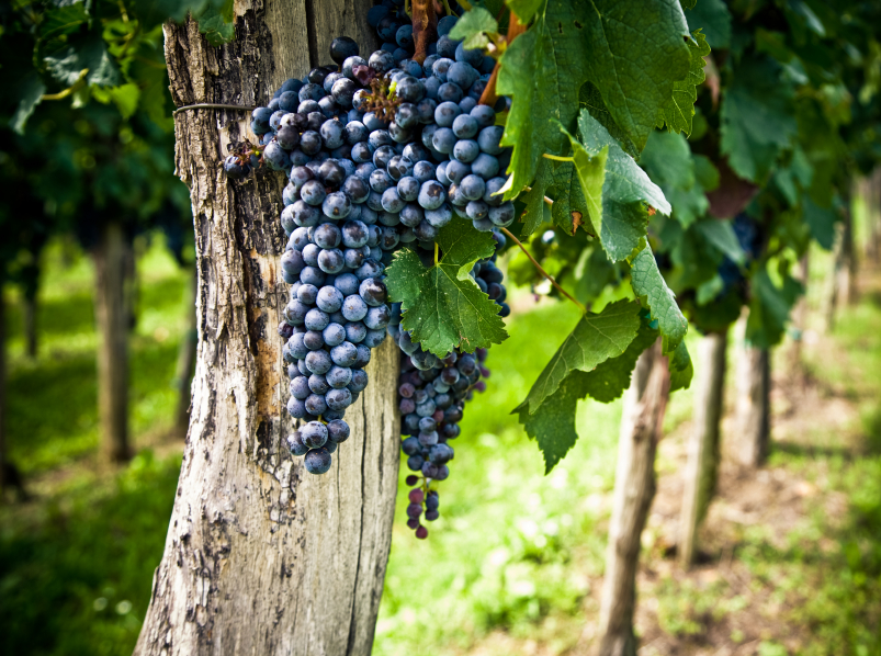 a creative writing of should i grow grapes A great number of varieties are now approved in the european union as true grapes for wine-growing and viticulture (ancient writing on clay tablets).